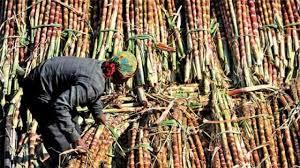 حکومت گنے کی قیمت450 روپئے فی کوئنٹل کرے: بھارتیہ کسان یونین