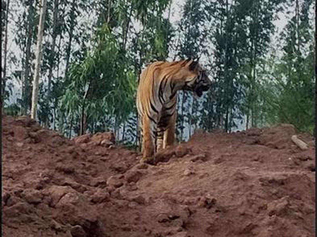تلنگانہ کے کومرم بھیم آصف آباد ضلع میں شیر کی موجودگی سے سنسنی