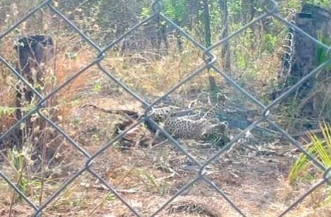 تیندوے نے محکمہ جنگلات کے اہلکاروں پر حملہ کرتے ہوئے زخمی کردیا