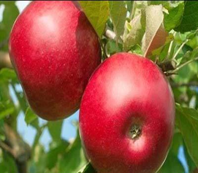 ہارٹ اٹیک سے بچنا ہے تو سیب کھائے