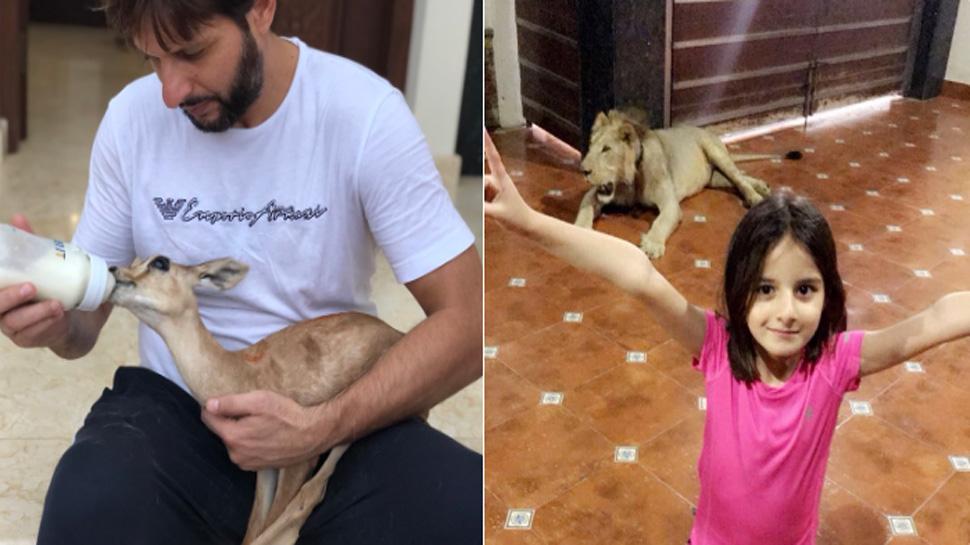 پاکستانی کرکٹر شاہد افریدی کی بیٹی نے شیئر کی تصویر: شاہد نے گھر میں پال رکھا ہے شیر،