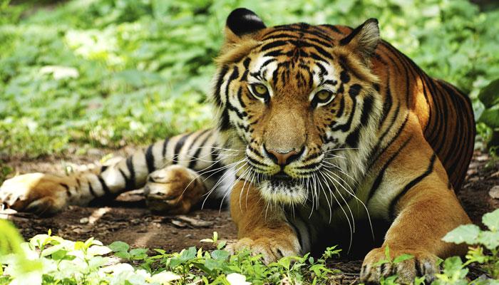 دنیا بھر میں بڑھ گئی شیروں کی تعداد، ہندوستان میں سب سے زیادہ 2226 ٹائیگر