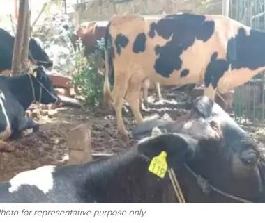 آندھراپردیش کے وجئے واڑہ کے گاو شالہ میں 100گائیوں کی موت